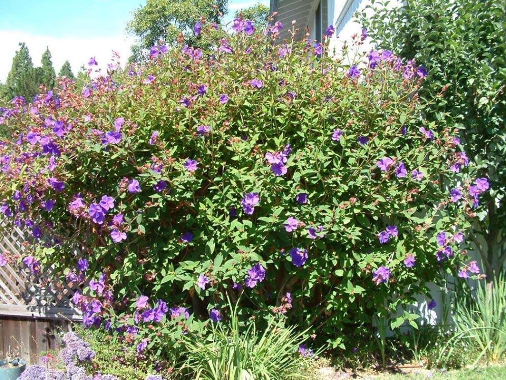 purple vining hedge - Vining Flowers