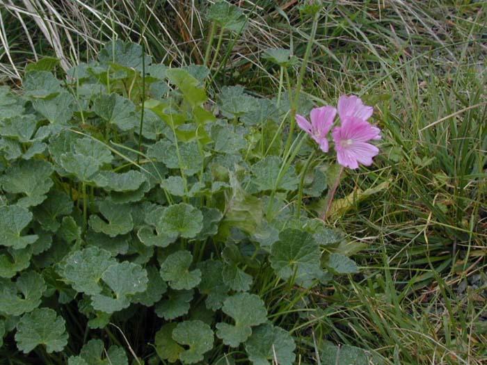 california florae  sidalcea malvaeflora  wild hollyhock  checkerbloom