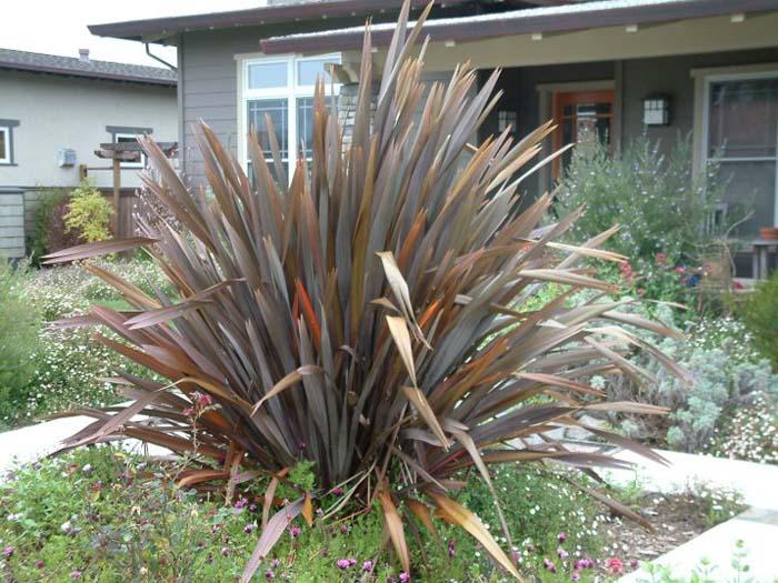 Phormium Tenax Atropurpureum Purple New Zealand Flax