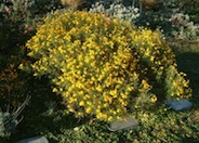 Perennial Marigold, Copper Canyon D